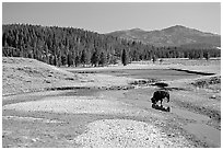 Buffalo in creek, Hayden Valley. Yellowstone National Park, Wyoming, USA. (black and white)