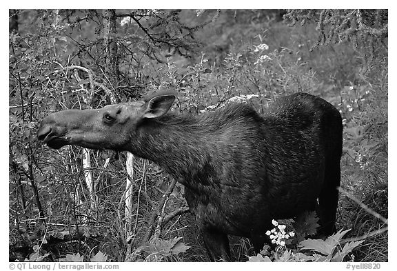 Cow moose reaching for plant. Yellowstone National Park (black and white)