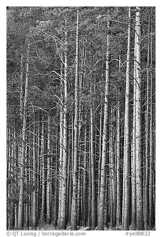 Dense Lodgepole pine forest, dusk. Yellowstone National Park (black and white)
