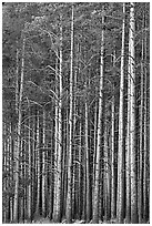 Dense Lodgepole pine forest, dusk. Yellowstone National Park, Wyoming, USA. (black and white)