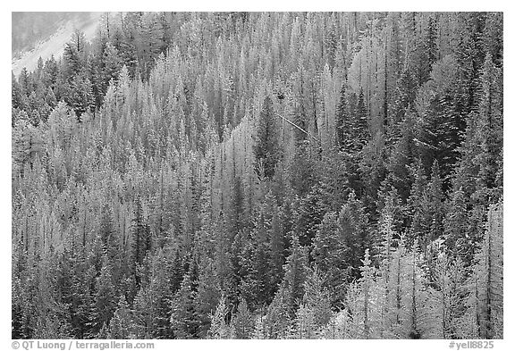 Frosted trees. Yellowstone National Park (black and white)