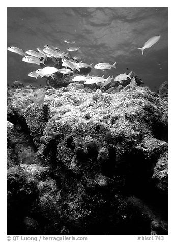 Coral and smallmouth grunts. Biscayne National Park (black and white)