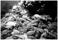 School of yellow snappers and rock. Biscayne National Park ( black and white)