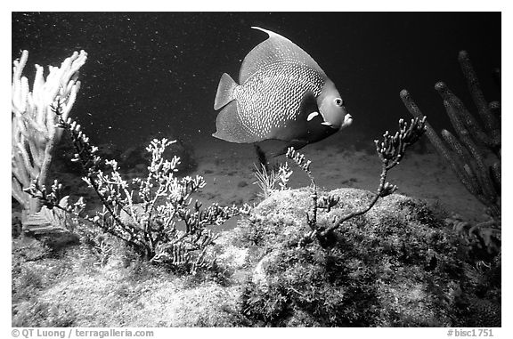 Tropical Fish. Biscayne National Park (black and white)