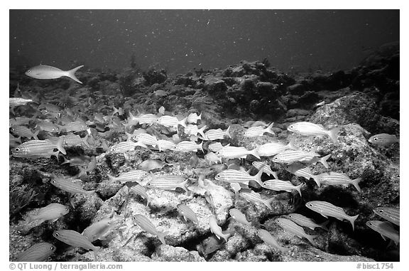 School of yellow snappers. Biscayne National Park (black and white)