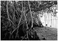 Mangroves on the shore at Convoy Point. Biscayne National Park, Florida, USA. (black and white)
