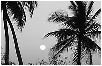 Palm trees and moon, Convoy Point. Biscayne National Park, Florida, USA. (black and white)