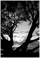 Sunrise framed by tree, Elliott Key. Biscayne National Park, Florida, USA. (black and white)