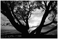 Tree and sunrise over ocean, Elliott Key. Biscayne National Park, Florida, USA. (black and white)