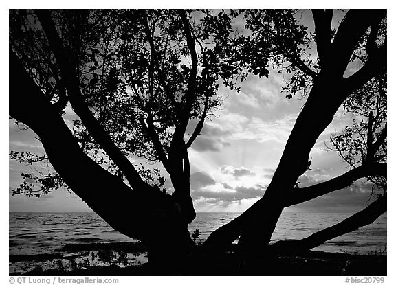 Sunrise framed by tree, Elliott Key. Biscayne National Park (black and white)