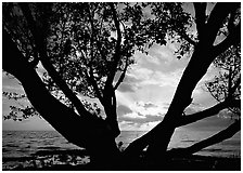 Sunrise framed by tree, Elliott Key. Biscayne National Park ( black and white)