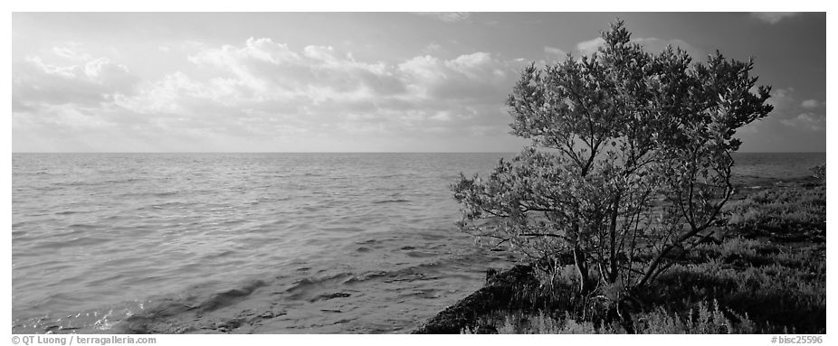 Tree on Atlantic Ocean shore. Biscayne National Park (black and white)