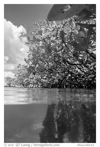 Over and underwater view of mangroves. Biscayne National Park (black and white)