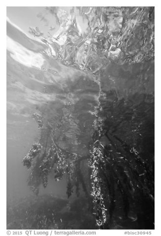 Mangrove roots and surface reflections. Biscayne National Park (black and white)