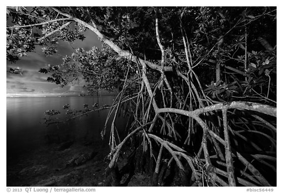 Mangrove tree branches at night, Convoy Point. Biscayne National Park (black and white)