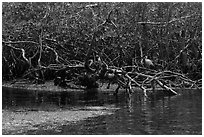 Bird amongst mangroves. Biscayne National Park, Florida, USA. (black and white)