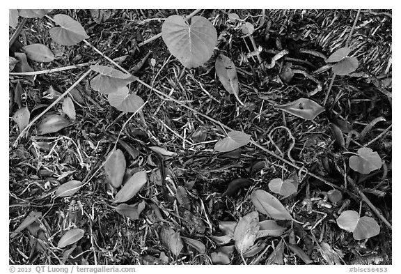 Fallen mangrove leaves, beached seagrass. Biscayne National Park (black and white)