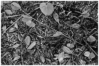 Fallen mangrove leaves, beached seagrass. Biscayne National Park, Florida, USA. (black and white)