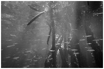 Mangrove root system shelters fish, Convoy Point. Biscayne National Park ( black and white)