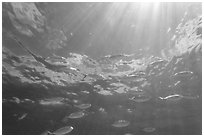 Tropical fish (Blue Runners) and sunrays, Garden Key. Dry Tortugas National Park ( black and white)