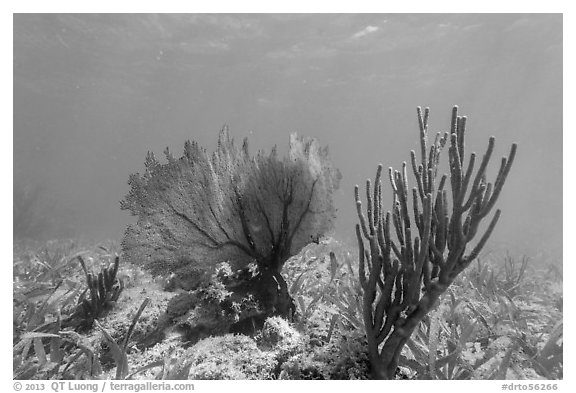Fan coral and Sea Rod, Garden Key. Dry Tortugas National Park (black and white)