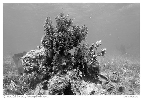 Sea Plume Corals and juvenile Cocoa Damsel, Garden Key. Dry Tortugas National Park (black and white)