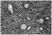 Hermit crabs and palm tree nuts. Dry Tortugas National Park, Florida, USA. (black and white)