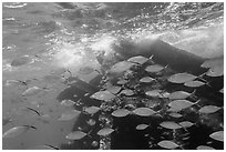School of tropical fish and Windjammer wreck. Dry Tortugas National Park, Florida, USA. (black and white)