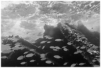 School of Bermuda Chubs, Avanti wreck, and surge. Dry Tortugas National Park, Florida, USA. (black and white)