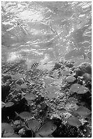 Tropical fish around Avanti wreck. Dry Tortugas National Park, Florida, USA. (black and white)