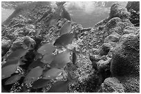 Bermuda Chubs and brain coral, Avanti wreck. Dry Tortugas National Park, Florida, USA. (black and white)