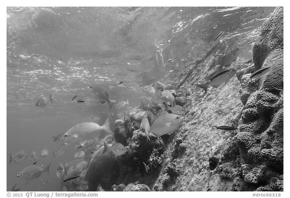 Coral and Windjammer Wreck. Dry Tortugas National Park (black and white)