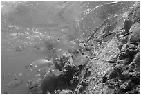 Coral and Windjammer Wreck. Dry Tortugas National Park ( black and white)