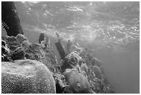 Brain coral on Avanti wreck. Dry Tortugas National Park, Florida, USA. (black and white)
