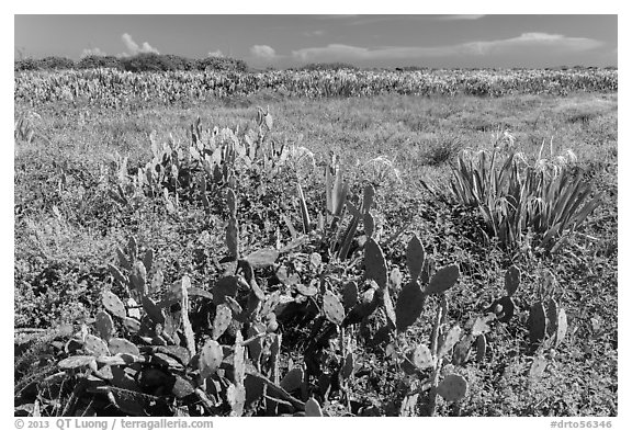 Prickly Pear cactus, Loggerhead Key. Dry Tortugas National Park (black and white)