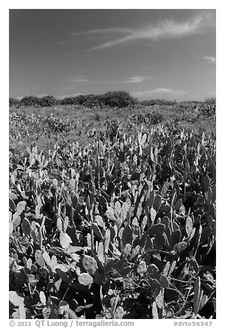 Cactus and geiger trees, Loggerhead Key. Dry Tortugas National Park (black and white)