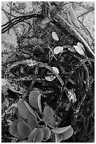Marine ropes and mussels, Loggerhead Key. Dry Tortugas National Park, Florida, USA. (black and white)