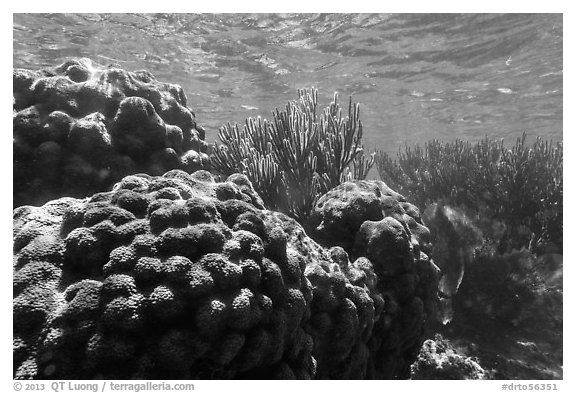 Coral in shallow reef, Little Africa, Loggerhead Key. Dry Tortugas National Park (black and white)
