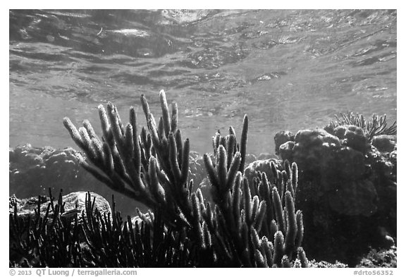 Soft coral, Little Africa, Loggerhead Key. Dry Tortugas National Park (black and white)