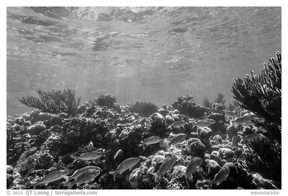 Fish and coral reef, Little Africa, Loggerhead Key. Dry Tortugas National Park (black and white)