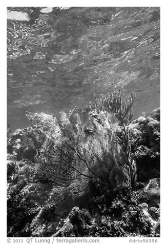 Fan coral, Little Africa, Loggerhead Key. Dry Tortugas National Park (black and white)