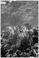 Fan coral, Little Africa, Loggerhead Key. Dry Tortugas National Park ( black and white)
