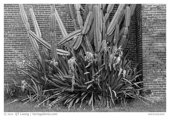 Cactus and brick walls. Dry Tortugas National Park (black and white)