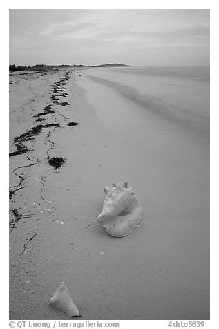 Conch shell and sand beach on Bush Key. Dry Tortugas National Park (black and white)