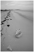 Conch shell and sand beach on Bush Key. Dry Tortugas National Park, Florida, USA. (black and white)