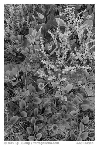Ground vegetation, Garden Key. Dry Tortugas National Park (black and white)