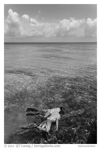 Man and boy snorkeling on reef. Dry Tortugas National Park (black and white)