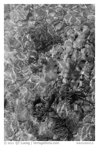 Coral underwater seen from above, Garden Key. Dry Tortugas National Park (black and white)