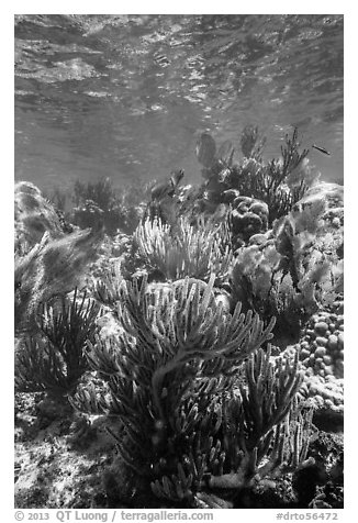 Dense colorful corals, Little Africa reef. Dry Tortugas National Park (black and white)