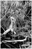 Great Blue Heron. Everglades National Park ( black and white)